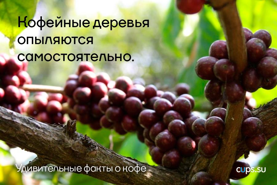 Кофейные деревья опыляются самостоятельно