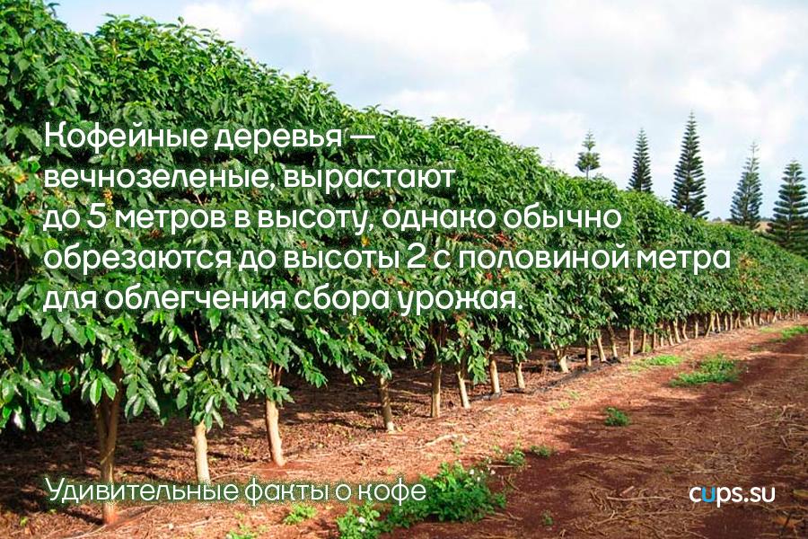 Кофейные деревья обрезаются для облегчения сбора урожая