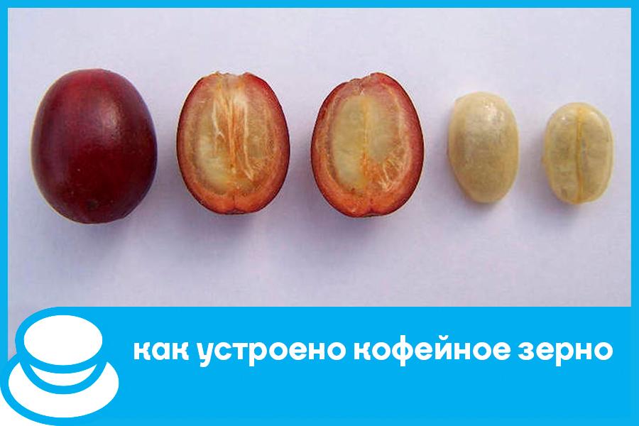 Как устроено кофейное зерно